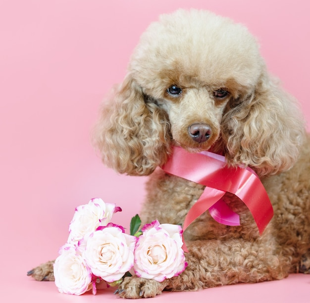 Valentine's day dog, apricot poodle with a ribbon around its neck and a bouquet of pink roses on a pink background
