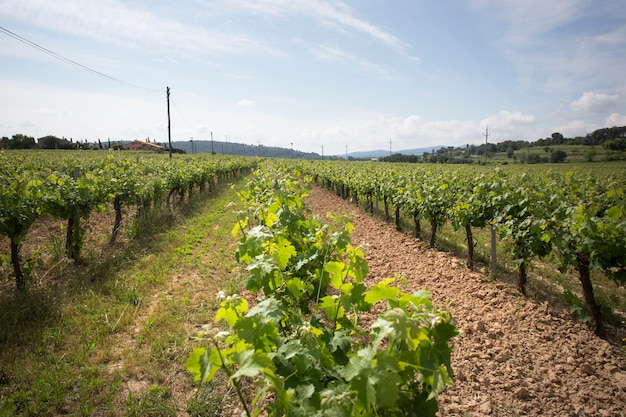 Valley with grape plants for varietal wines