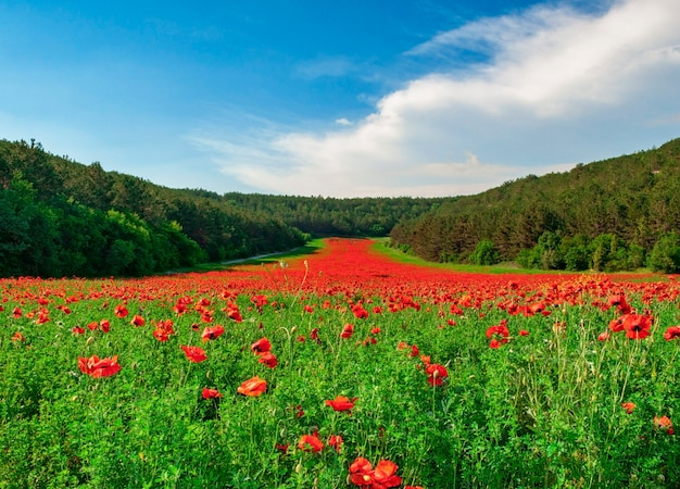 Valley with many blooming red poppies