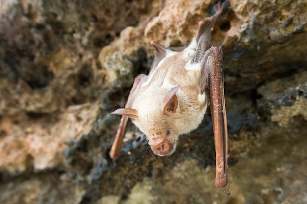 천장에 매달린 동굴에서 자고있는 흡혈 박쥐