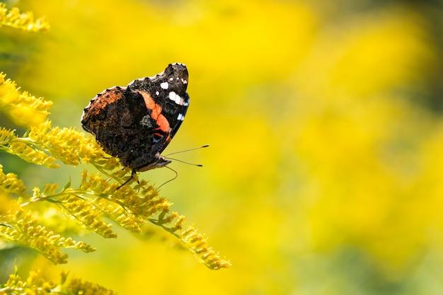ゴールデンロッドの昆虫蝶赤提督(vanessa atalanta)。コピースペース