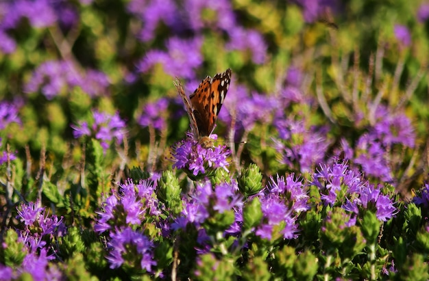 Vanessa cardui butterfly collecting pollen on mediterranean thyme shrub