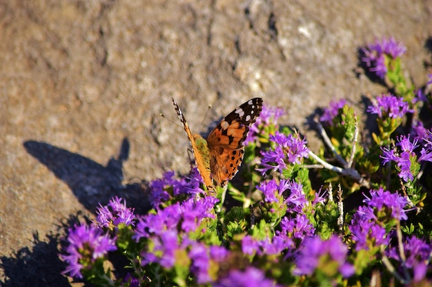 地中海タイムの低木で花粉を集めるヴァネッサカルドゥイ蝶