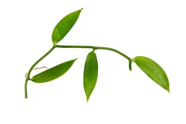 白に分離されたバニラの枝の緑の葉。