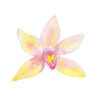 バニラの花。手描きの水彩イラスト。孤立