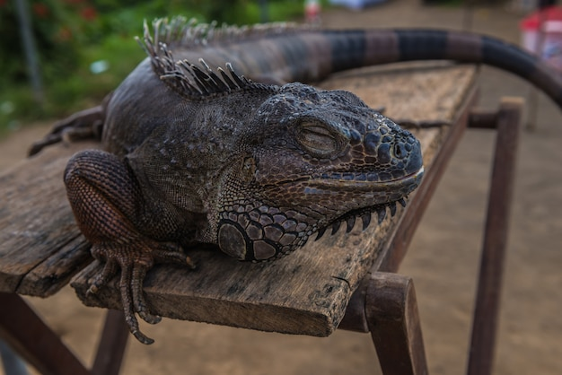 The varan rests on the table. close-up lizard.