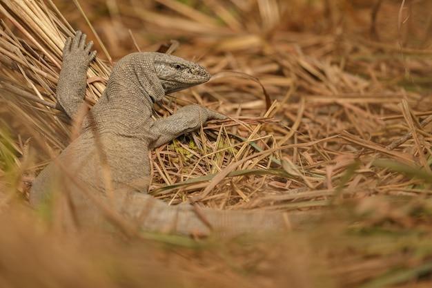 Varanus bengalensis monitor lizard in nature habitat indian wildlife