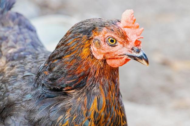 농장에서 잡색의 닭 클로즈업입니다. 방목에 암탉을 낳는다. 자연 농장 생산.
