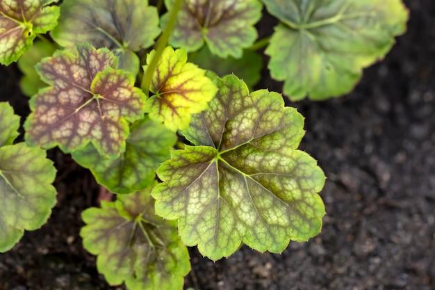 ランドスケープデザインにおけるheucheraガーデニング多年生植物の多彩な緑の葉