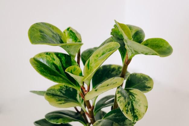 ペペロミアvariegata観葉植物の斑入りの緑の葉