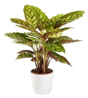 흰색 화분에 잡색의 장식 삼색 calathea maranta 공장 copyspace와 측면보기를 가까이에 흰색에 고립