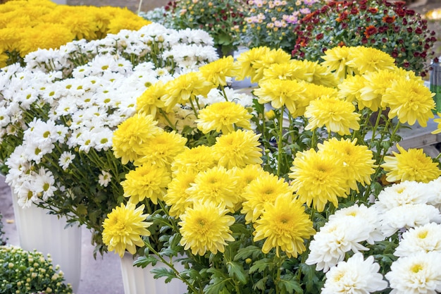 Varietal chrysanthemums in a flower shop. white, yellow, red and pink chrysanthemum