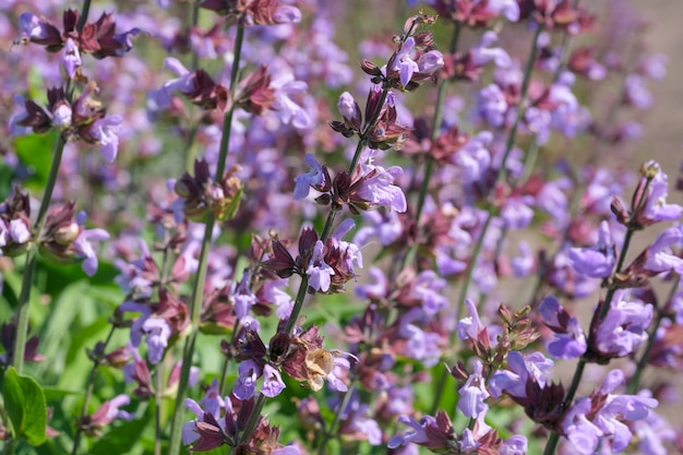 Varietal cultivated sage - medicinal aromatic herb blooms on a sunny summer day close-up