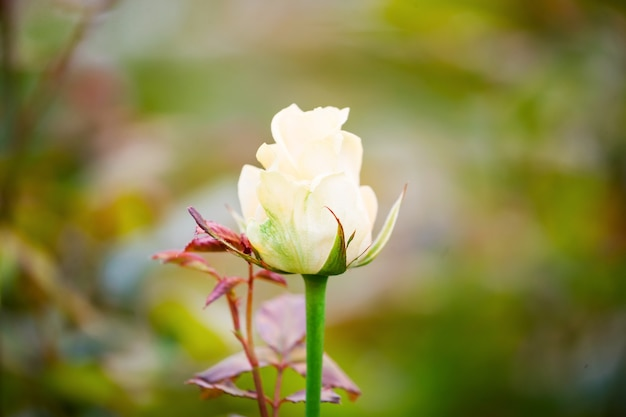 Varietal white roses on a green bush in the spring garden