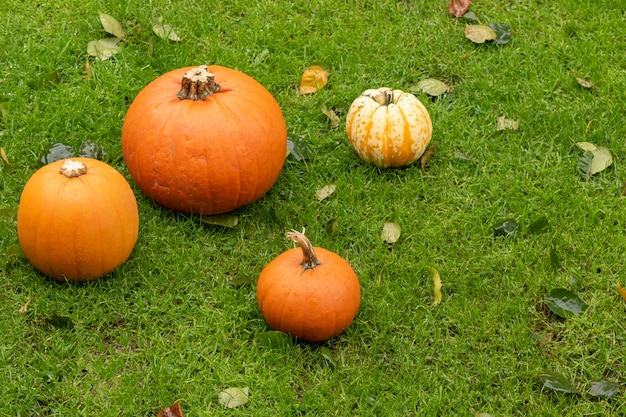 Variety of colorful pumpkins among autumn leaves on the grass. helloween concept decoration.