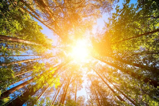 Разнообразие крон деревьев в весеннем лесу против неба с солнцем. вид на деревья снизу