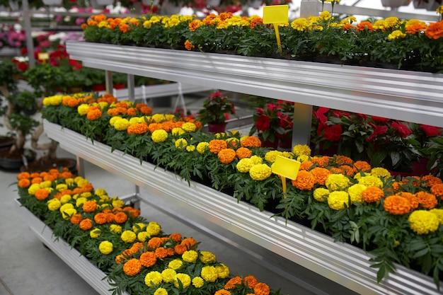 Разнообразие ярких цветов, растущих в горшках в теплице