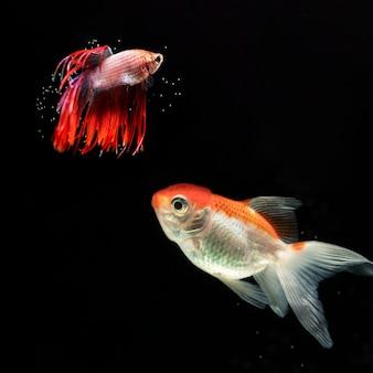 さまざまな「ハーフムーン」ベタ魚