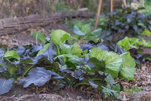 유기농 정원에서 자란 다양한 겨자 식물