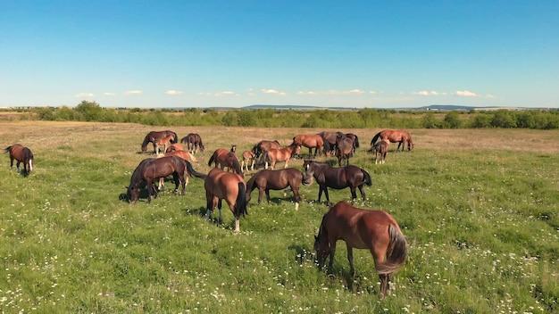 Различные коричневые лошади стоят на зеленом лугу и пасут траву на сельскохозяйственных угодьях, вид с воздуха.