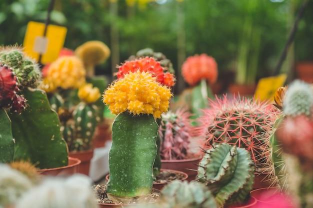 温室のさまざまな色のサボテンの植物。店の棚にある様々なサボテン。さまざまな種類の小さなポットの装飾的な小さなサボテン。