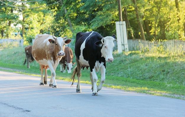 Различные коровы медленно идут по дороге на склоне холма в украинской деревне