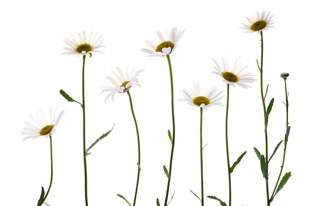 白い背景に分離されたさまざまなデイジーの花。