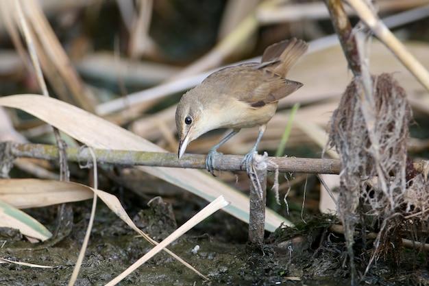 冬の羽のオオヨシキリ(acrocephalus arundinaceus)は、葦の枝や地面を非常にクローズアップして撮影しました。