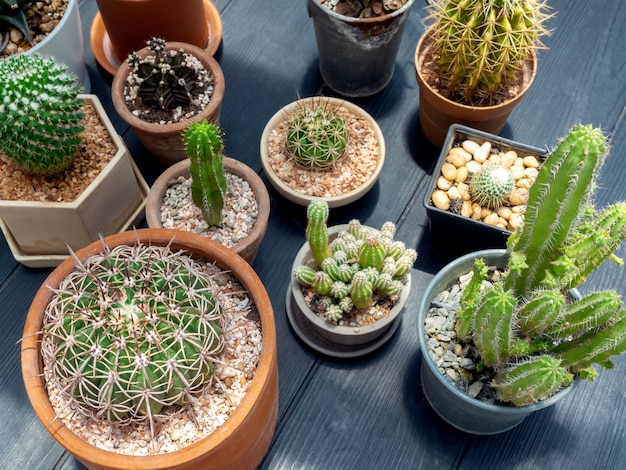 Various green cactus plants in pots.