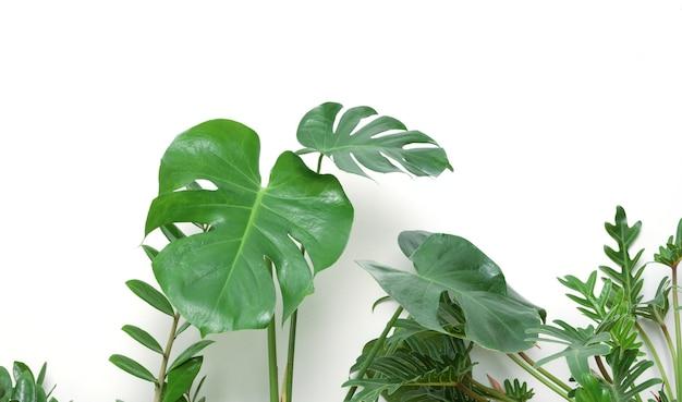 Monstera philodendron으로 다양한 집 식물 아름다운 녹색 잎 자연 공기 정화