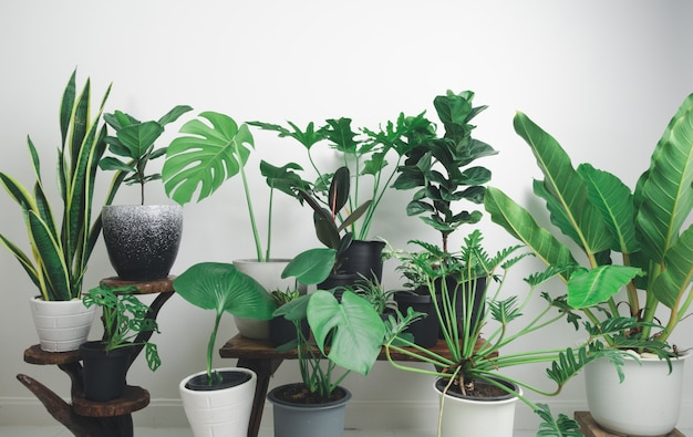 Various house plants green leaves with monstera,philodendron , zamioculcas zamifolia,snake plant
