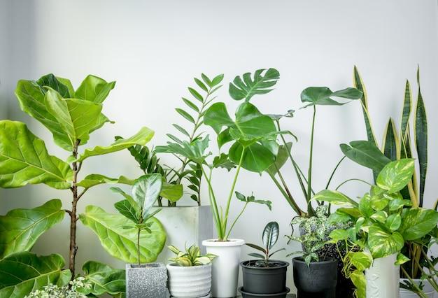 화이트 룸의 현대적인 세련된 컨테이너에있는 다양한 집 식물, monstera, philodendron selloum, aroid palm, zamioculcas zamifolia, ficus lyrata, 뱀 식물로 자연 공기 정화