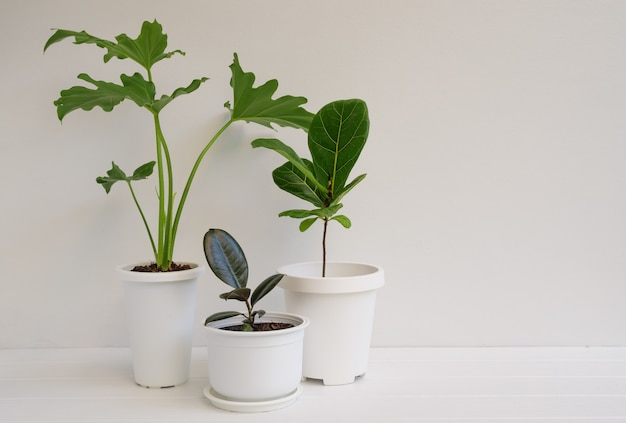 Various house plants in modern stylish container on white wooden table and wall in white room,natural air ir purify with philodendron selloum,rubber plant,ficus lyrata