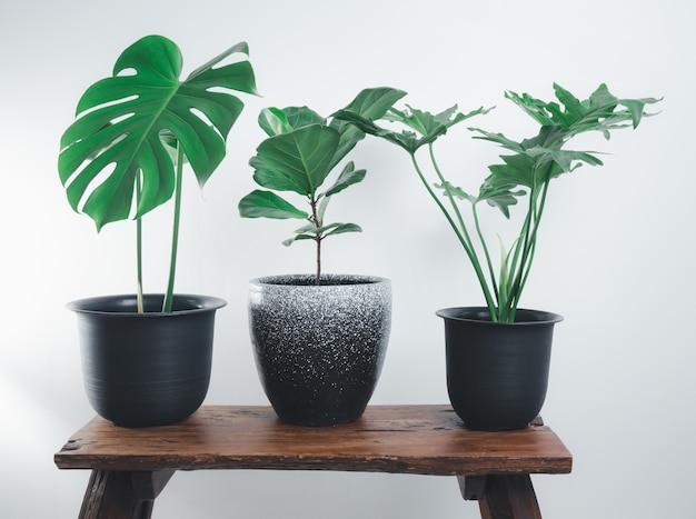 흰색 방의 나무 벤치에 있는 다양한 집 식물, 몬스테라, 필로덴드론 셀로움, 피쿠스 리라타
