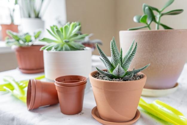 テーブルの上の別の鍋にさまざまな植物。陶磁器の鍋でハオルチア。屋内ガーデンホームのコンセプトです。
