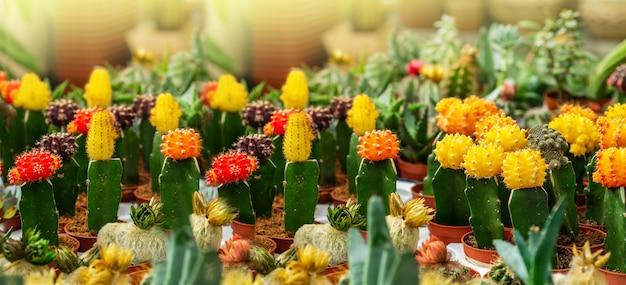 温室の庭でさまざまな鉢植えの多肉植物とサボテンの植物。店の棚にある様々なサボテン。上からの眺め。さまざまな種類の小さなポットの装飾的な小さなサボテン。