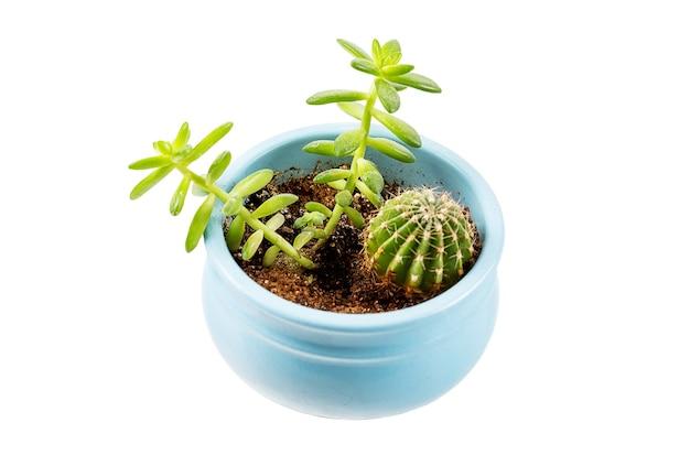 青い鍋のトップにあるさまざまな種類の小さな自家製多肉植物とサボテン