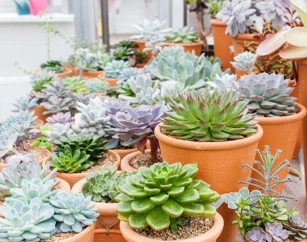 Various types of succulent in flower pots in the greenhouse