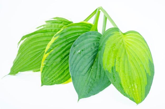 흰색 배경에 격리된 다양한 종류의 hosta 잎. 스튜디오 사진.