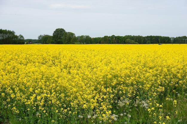 黄色い野の花でいっぱいの広大な畑