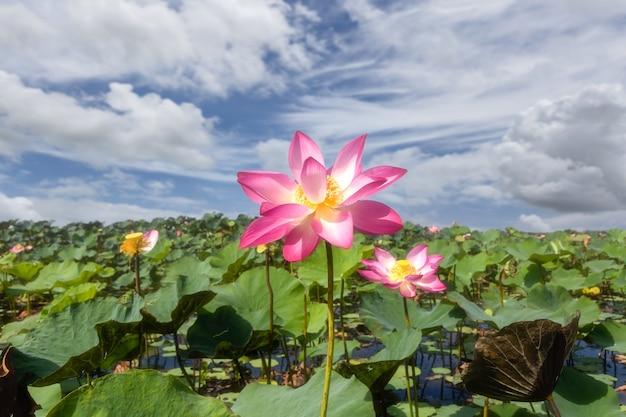 Обширное озеро, полное водяных лилий, в водно-болотных угодьях талай-ной, пхатталунг, таиланд.