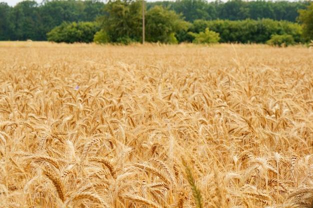 Обширное пшеничное поле с урожаем в дневное время