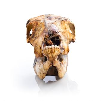 Veal skull
