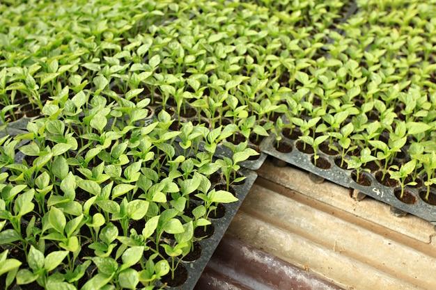 Vegetable crops in greenhouses