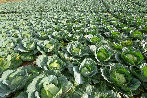 Vegetable garden  cabbage
