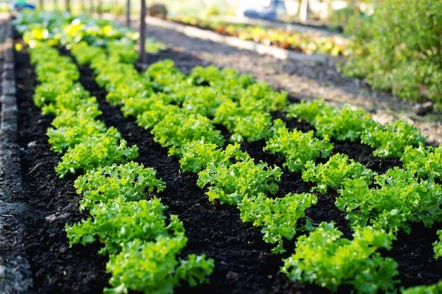Vegetable garden from farmers