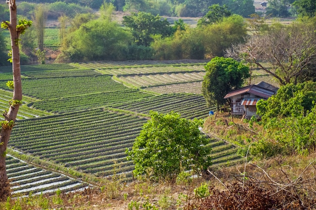 Vegetable garden terraces with cottage on mountain at omkoi, chiang mai, thailand.