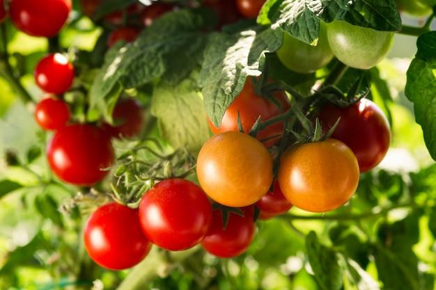 빨간 토마토 식물이 있는 채소밭. 국내 정원에서 토마토를 재배합니다.