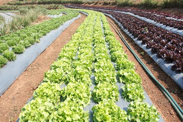 Огород, с пластиковой пленкой, защищенной на земле, пластиковой пленкой используется изоляция для овощей и предотвращает эрозию почвы.