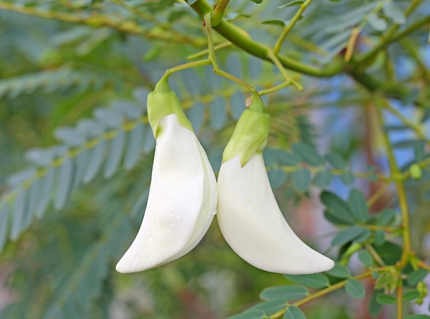 Vegetable humming bird sesban agasta (sesbania grandiflora desv)